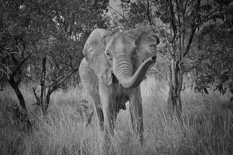 Rhinocéros à tête d'éléphant